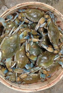 A basket of blue crabs from Murrells Inlet Seafood
